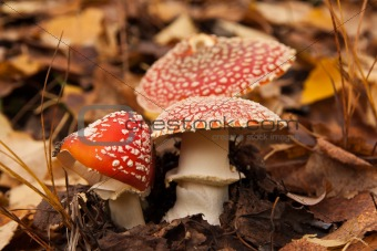 three red mushrooms (toadstool) with fall leaves on background