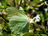Butterfly Gonepteryx