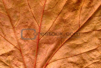 A preserved dead brown ivy leaf close up background.
