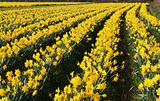 A field of daffodils in bloom, Cornwall, UK.