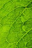 Close up detail of a green leaf.