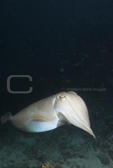 Cuttlefish cruise