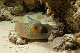 Ribbon tail ray