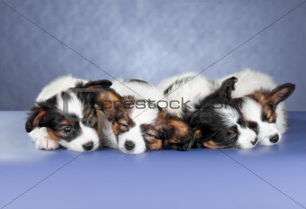 Four small sleeping Papillon Puppies