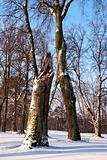 Broken maple trunk natural winter park with snow 