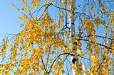 Small yellow birch leaves in  autumn and sky 