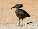 A Hamerkop, scopus umbretta