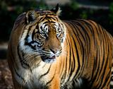 Sumatran tiger panthera tigris sumatrae