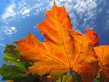 bright foliage of autumn maple tree