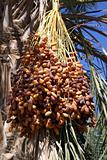 Dates on the tree