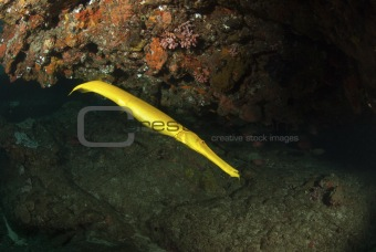 Bright trumpetfish