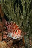 Hawkfish in distress