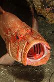 Open mouth rockcod