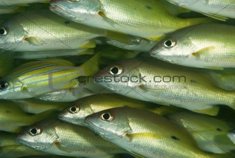 Bluebanded snapper