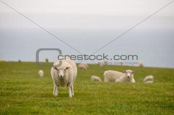 Flock of sheep, New Zealand