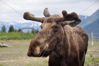 Wild moose, Alaska