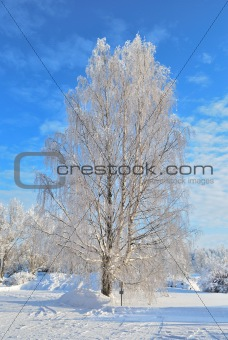 Beautiful birch-tree covered with frost
