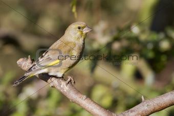 Greenfinch  (Carduelis chloris)
