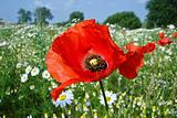 the poppy