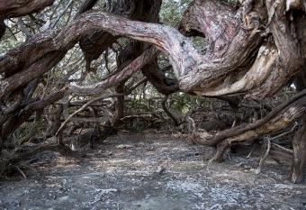 old cuba tree