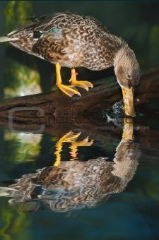 Clean Duck