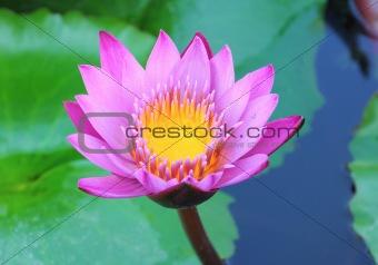 Blooming purple lotus flower
