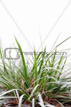Green grass in winter