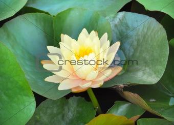 Blooming yellow lotus flower
