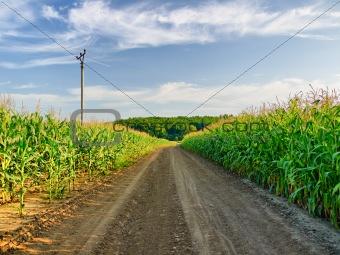 across the corn field