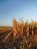 harvested corn