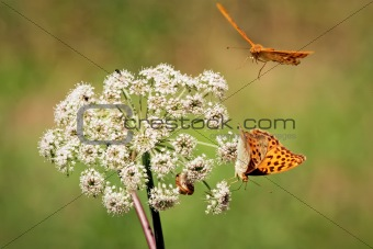Two orange butterflies with white flower