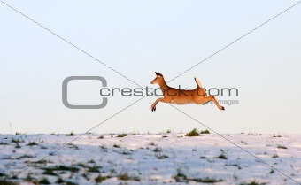 Deer leaping in flight