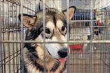 Alaskan Malamute in kennel