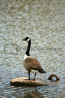 Canadian goose on a lake
