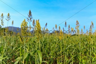 Young corn in the field