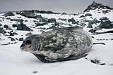 The grey seal 