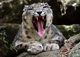 Growling Snow Leopard portrait