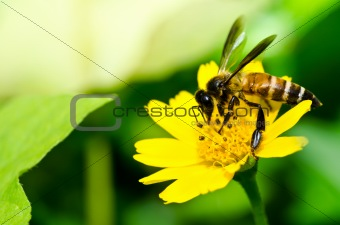 bee and yellow flower in green nature