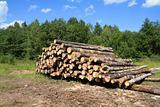 sawn down tree