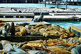 California sea lions on Pier 39 in San Francisco, United States