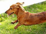 dachshund dog run and jump