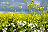 Rape field and chamomile marguerite closeup 