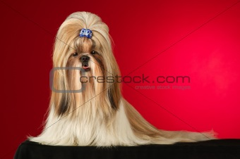 Shih Tzu dog with blue hairpin shot full face