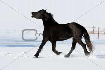 Black horse run gallop in winter