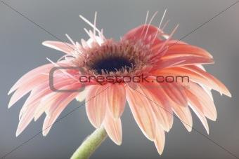 Close up flower of gerber