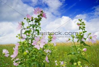 wild mallow