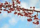 branch with  red berries after ice storm