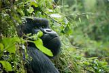 Wondering gorilla