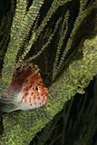 Hiding hawkfish