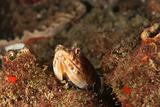 Peeping lizardfish